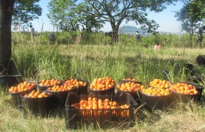 apricot orchard.JPG